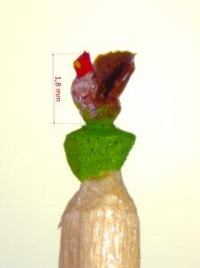 Auerhuhn-Rotkopf-linksblickend-1,8 Millimeter klein